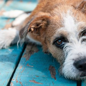Bene Statera!® – Koirien perinteinen jäsenkorjaus ja luonnonmukainen hoito -SIILINJÄRVI moduuli 3